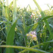 AnnPhacelia-crop