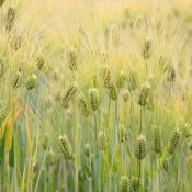 Barley-crop_compressed