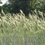 CerealRye-crop