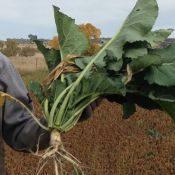 Collard2-crop