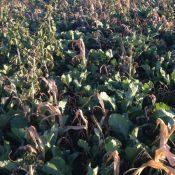 Collard3-crop