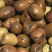 Faba-Beans-Seeds