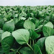 Soybean1-crop