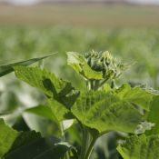 Sunflower1-crop