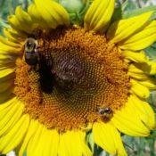 Sunflower2-crop