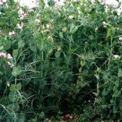 WinterPea-crop