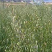 blackoats1-crop