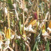bmr-corn-stalks-crop