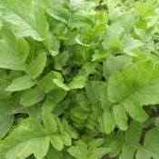 nitro-radish-crop