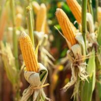 north40ag pioneer crops_compressed