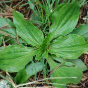 plantain-crop