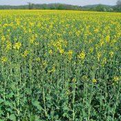 rapeseed2-crop