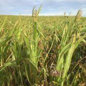 sorghum-sudan-crop